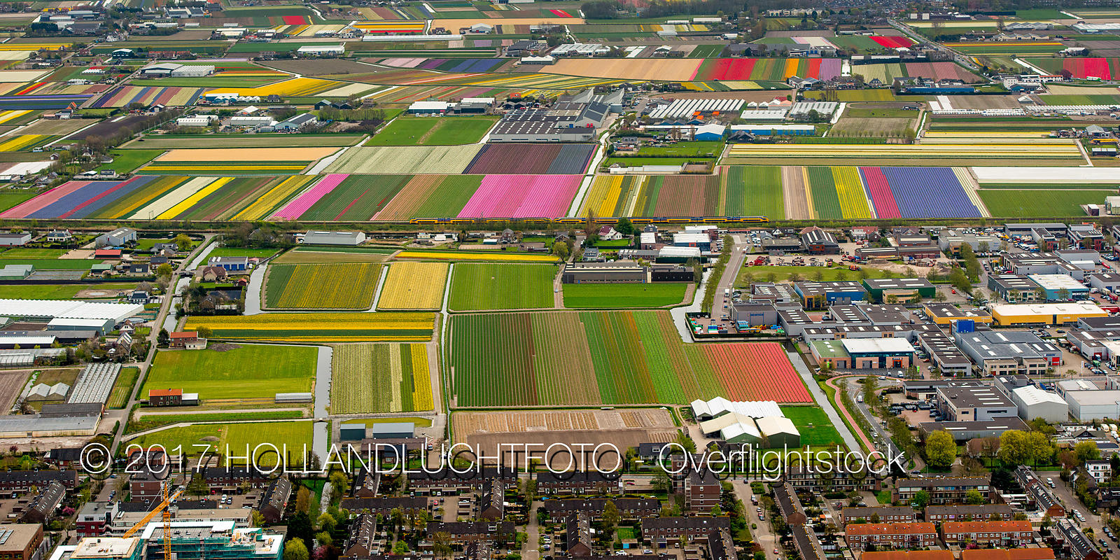 Flowering Tulip Fields in the Bulb Region at Lisse Netherlands