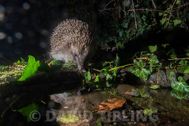 European Hedgehog Erinaceus europaeus coming to drink at bird bath in garden at night Holt Norfolk