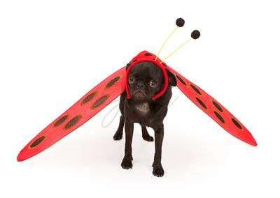 Pug puppy wearing a lady bug costume