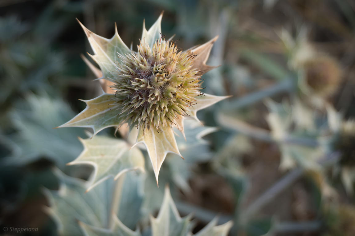 One flowerhead of Sea Holly or Blue seathistle after flowering