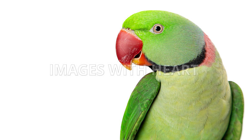 Alexandrine Parrot Closeup With Copy Space