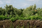 Appelboomgaard | Apple orchard
