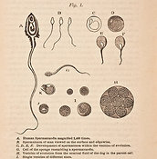 Physiology and Biology of Human Sperm