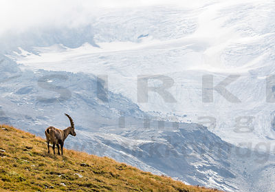 Male Alpine ibex & Glasier des Sources de l'Isère