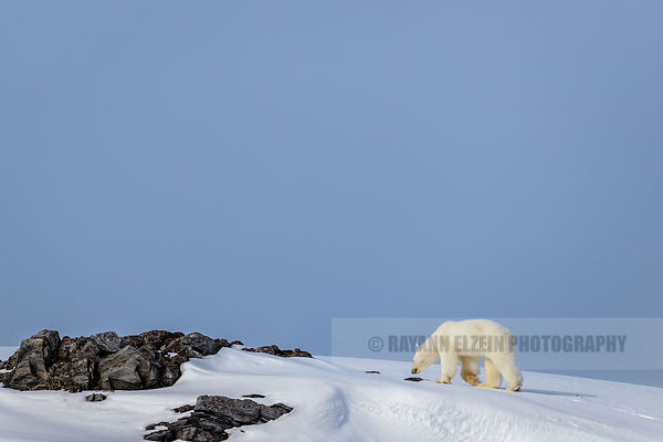 Polar bear walking on land
