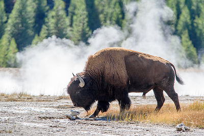 Bison Bull in front of Geyser Steam