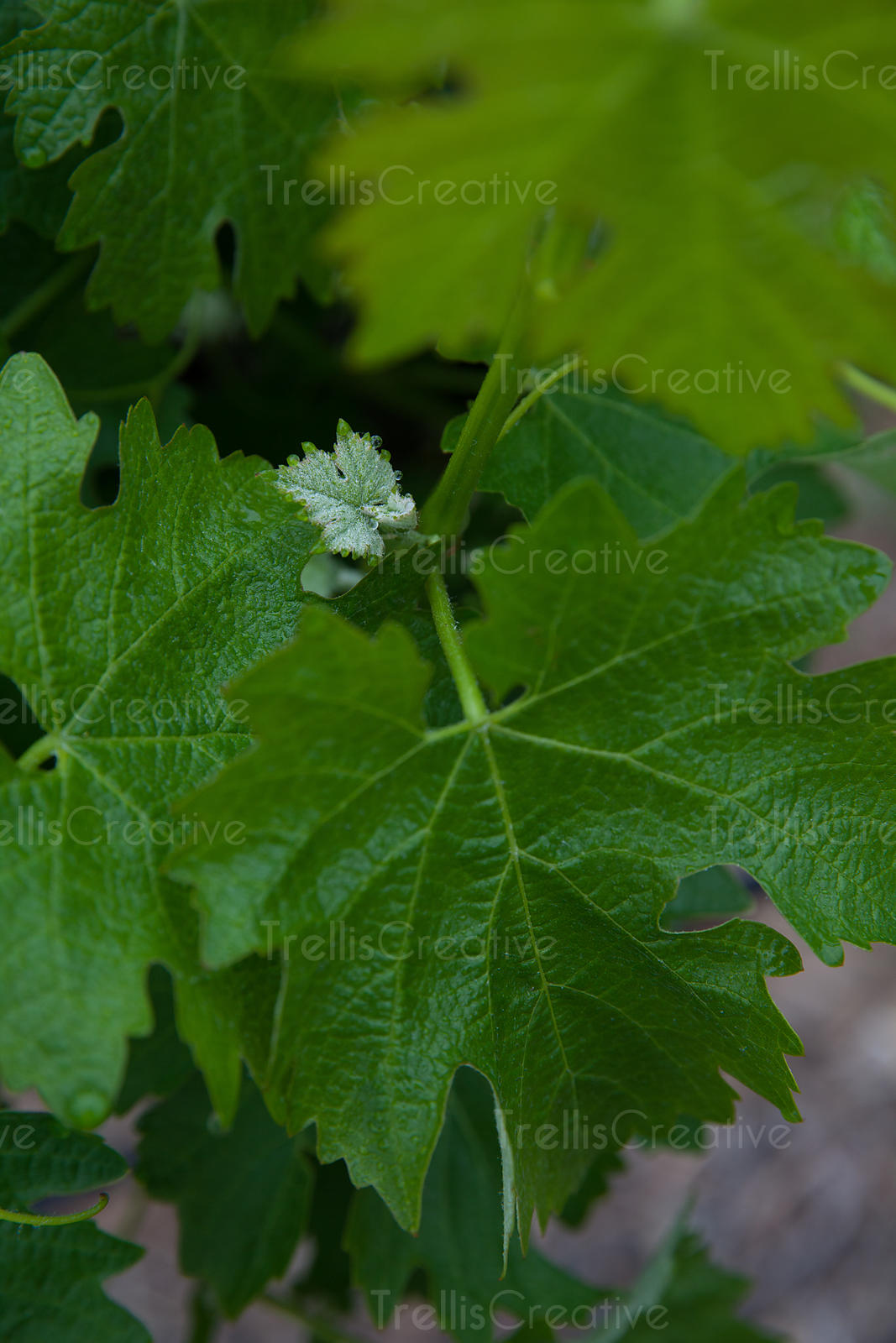 Close-up of green grape leaves