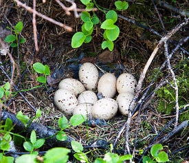 Nest of Hazel Grouse