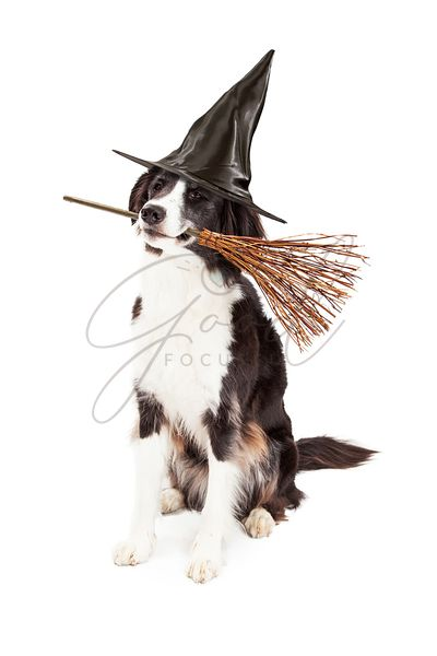 Dog Dressed as Halloween Witch