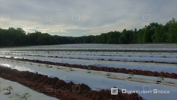 Young Tomato Plants Covered for Protection and Irrigation Control