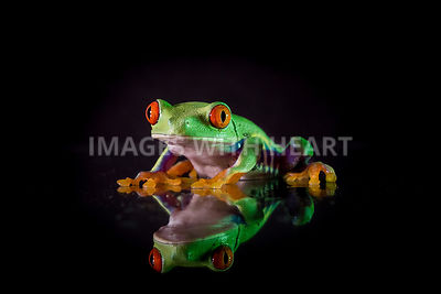 red_eyed_tree_frog_sitting_black