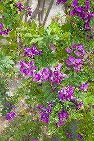 Fotoflor toutes les photos et images de plantes fleurs jardins sur le th me mild climate plants - Polygala myrtifolia feuilles jaunes ...