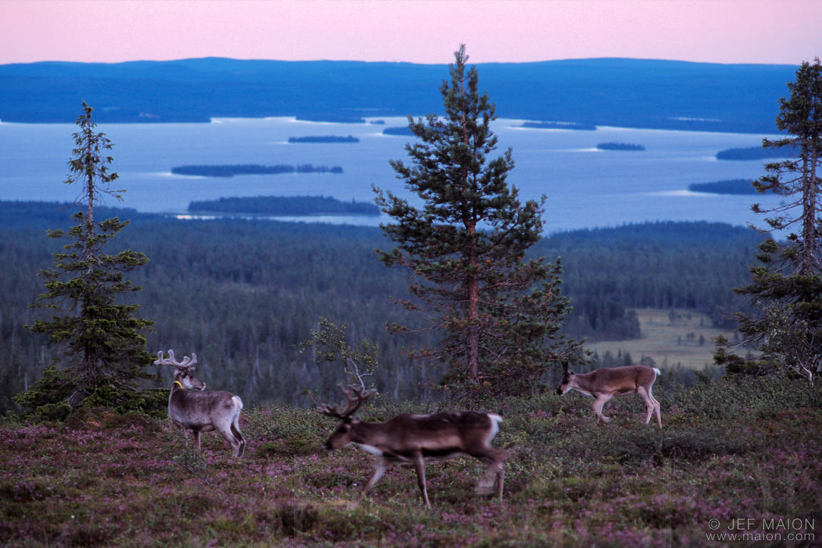 Reindeers on a hill at dusk