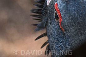 Western Capercaillie Tetrao urogallus detail of male in captive breeding programme Spanish Pyrenees