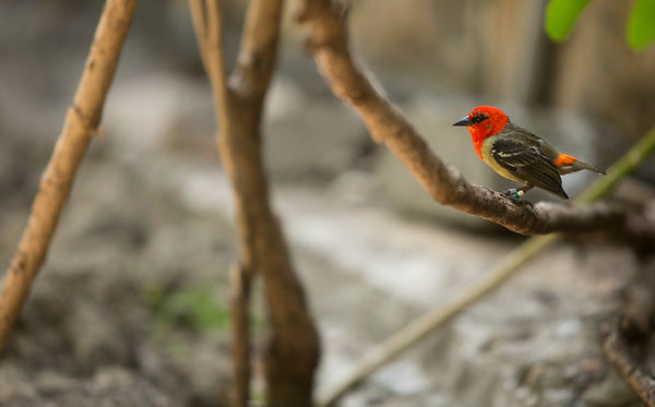 Male Mauritian Fody - you can tell the Madagascar and Mauritian species apart as the Madagascar is all orange-red whereas the Mauritian only has the orange-red on it's head