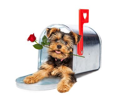 Puppy In Mailbox Holding Red Rose
