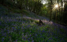 Bluebell_Dawn