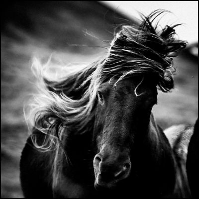 Wild horse shaking his mane, Iceland 2015 © Laurent Baheux