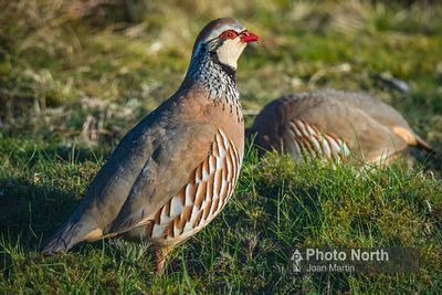 PARTRIDGE 01A - Red-legged partridge
