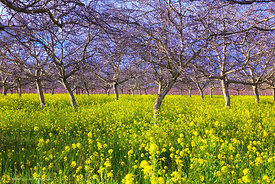 Walnut Orchard with Mustard #3