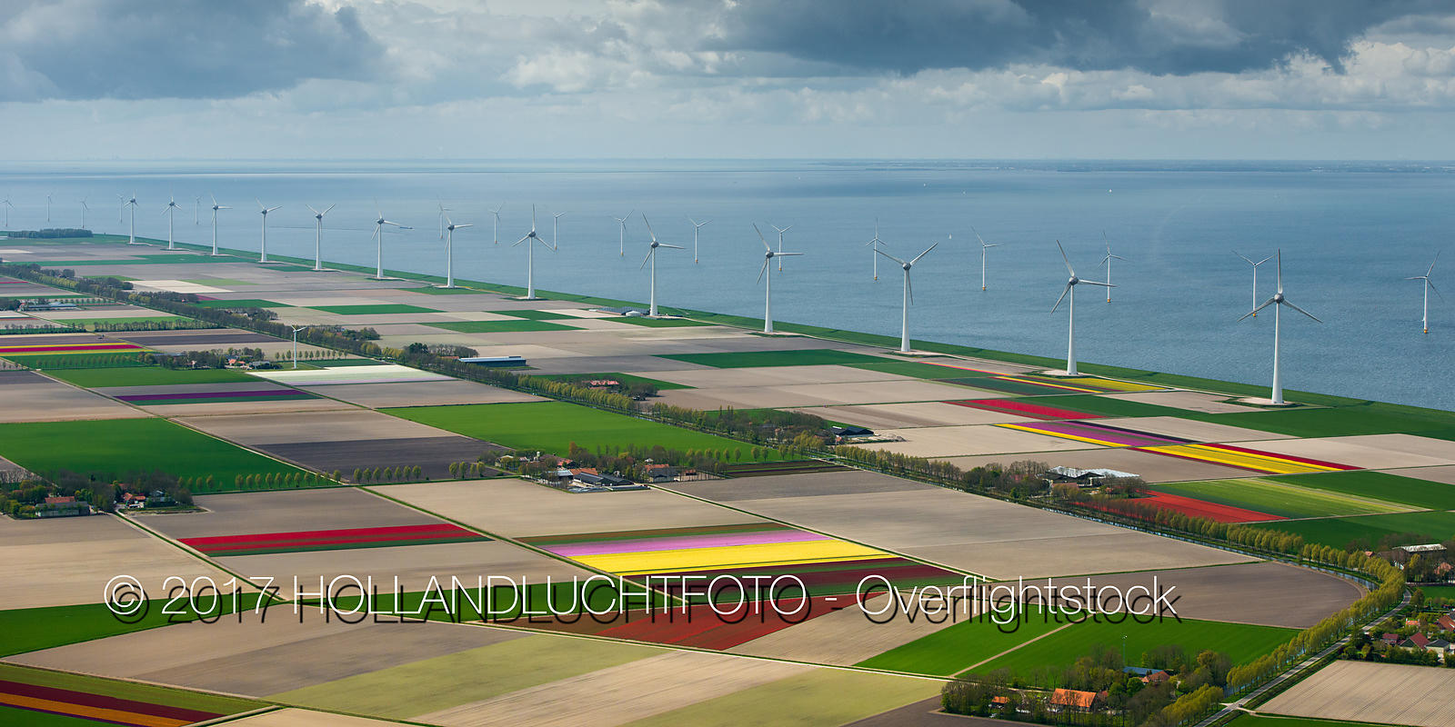 Flowering Tulip Fields in the North-East Polder Netherlands and 'Westermeerwind' Windmill Farm