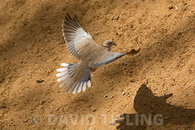 Eurasian Collared Dove Streptopelia decaocto Fuertuventura Canary Islands