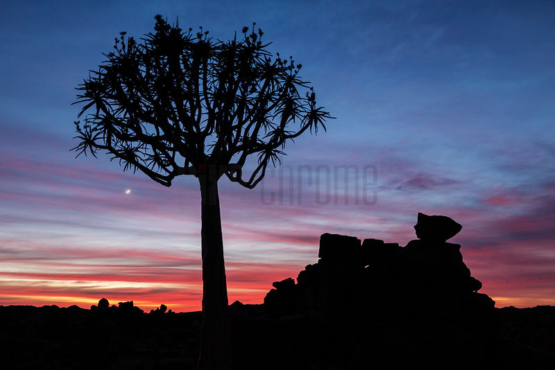 Silhouette of a Kokerboom Tree at Sunrise
