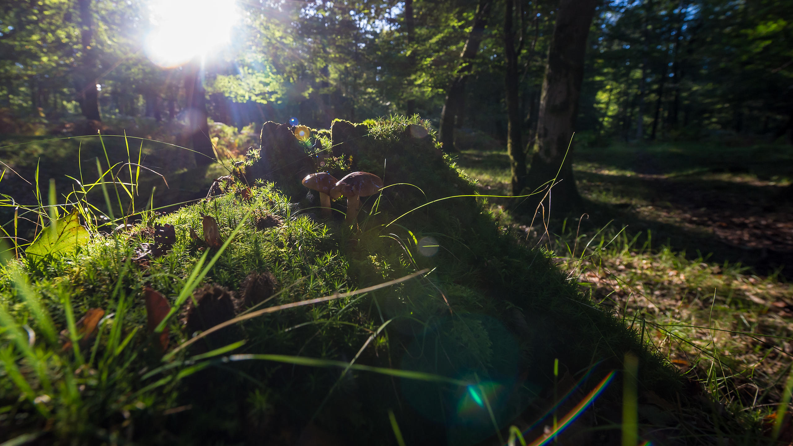 Forest Mushrooms in sun Flare
