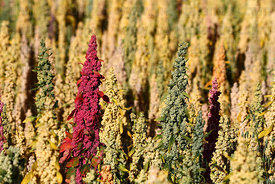 Field of quinoa plants ( Chenopodium quinoa ) in various stages of development , Bolivia