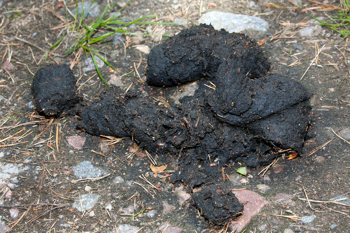 Black Feces In Dogs