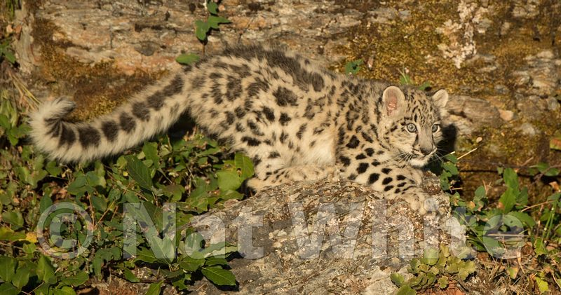 Snow_Leopard_Cub-Triple_D_wildlife-22017-940-July_31_2017