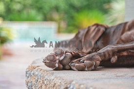 close up of chocolate lab's paws