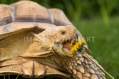 Tortoise eating dandelion