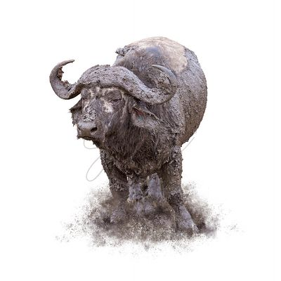 Muddy Cape Buffalo Isolated on White