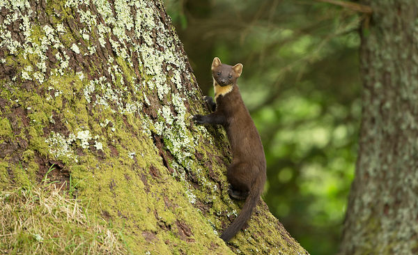 Pine Marten - Scotland photos