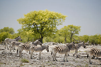 Zebras and green tree
