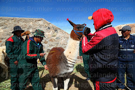 Measuring the girth of a llama that has been selected to take part in competition, Curahuara de Carangas, Bolivia