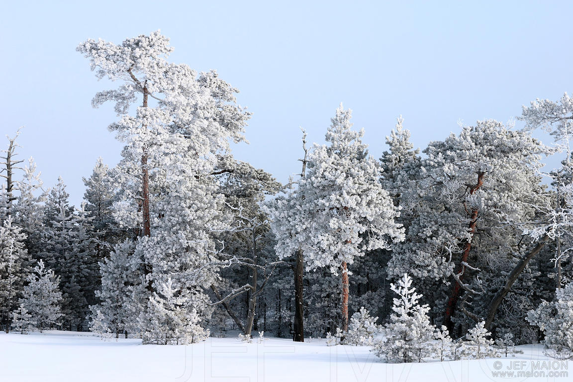 Frost-capped trees