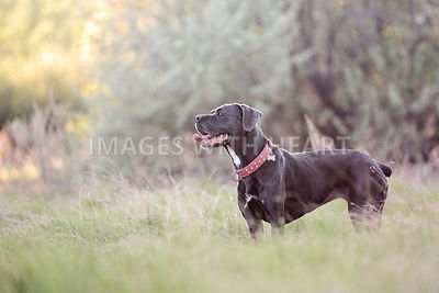 Mastiff cross standing in field