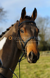 Head shot of horse at the meet - The Cottesmore at Belton 24/12
