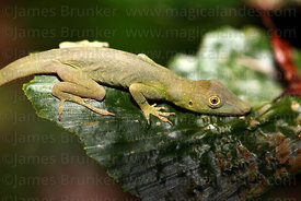 Amazon green anole or Spotted anole (Anolis punctatus)