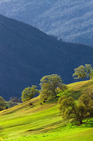 Cows Grazing on a Hillside #3