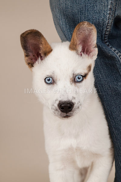 Puppy dog close up tan background blue jeans