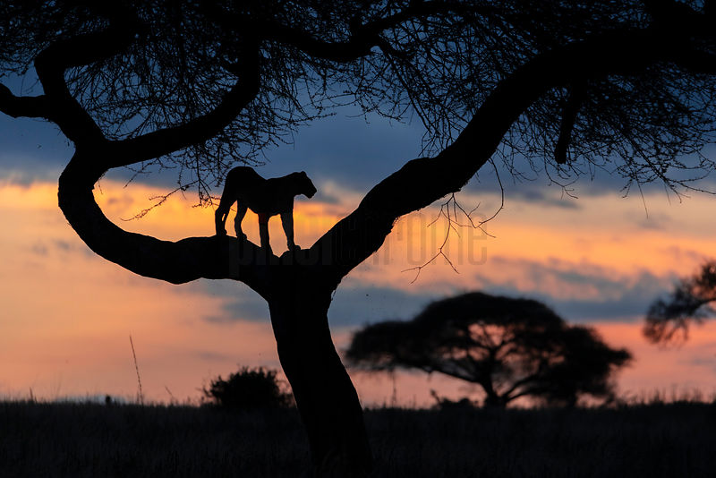 A Lion Stands in an Acacia Tree at Sunset