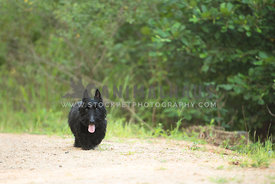 older black schnuazer walking on a dirt path surrounded by trees
