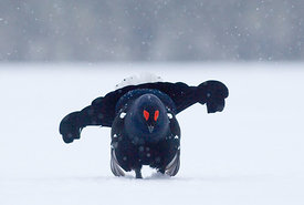 Black Grouse Tetrao tetrix lekking in snow March