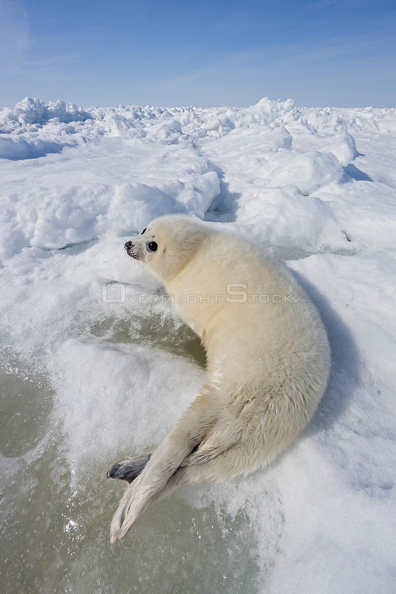 Harp seal (Phoca groenlandicus) pup on sea ice, Magdalen Islands, Gulf of St Lawrence, Quebec, Canada, March.