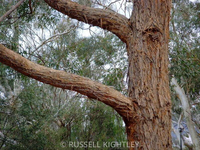Eucalyptus eugenioides, Thion leaved Stringybark #6