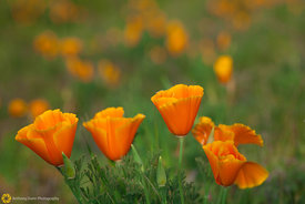 California Poppies #2