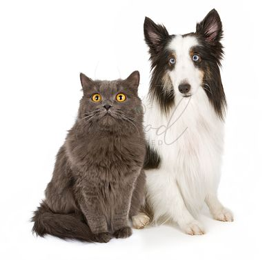 Shetland Sheepdog and Gray Cat